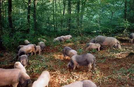 Pigs taking care of the beech grove