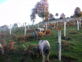 Euskal Txerri hogs helping to keep a reforested mountainside clean